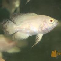 Harga ikan hias oscar | antitipu.com