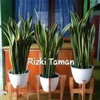 Sansevieria Trifasciata plus standing planter kayu ukuran pot 30.cm