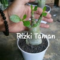 Adenium Thaisoco tanaman bahan bentuk bonsai