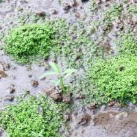 tanaman aquascape Monte carlo akuarium aquascape