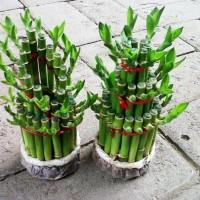 Bibit Tanaman Hias Bambu Hoki Rejeki (Lucky Bamboo) Pita Ribbon Plant
