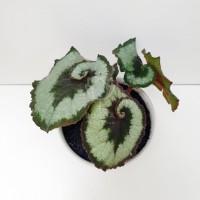 Tanaman Hias Begonia Rex Escargot