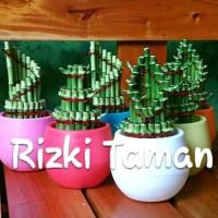Lucky bamboo | bambu hoki | souvenir tanaman pot warna