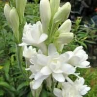 Sedap malam bunga potong tanaman asli