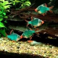 Hiasan Aquarium Sumatera ( Tiger Barb ) Green S untuk Aquascape