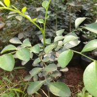 Tanaman hias kemuning - pohon kemuning
