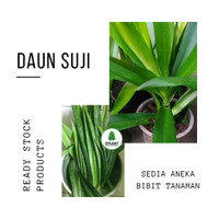 Harga bibit pohon daun suji tanaman pandan betawi wangi herbal pewarna | antitipu.com