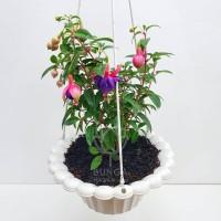 Tanaman Gantung Fuchsia Ungu