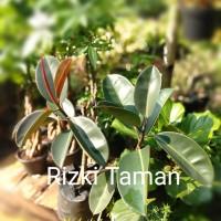 Pohon Karet kebo tumbuhan genus ficus house plants
