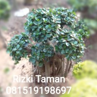 Pohon Bonsai Beringin Korea Medium 1.m-1,2.m