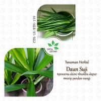 Harga bibit pohon daun suji tanaman pandan betawi wangi herbal | antitipu.com