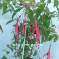 Tanaman Gantung Fuchsia Mini Merah Ungu