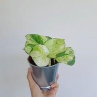 Deskplant_Epipremnum Aureum_Manjula Pothos_Sirih Keong