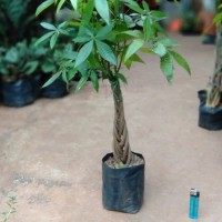 Bibit Pachira aquatica kepang money tree tanaman meja indoor