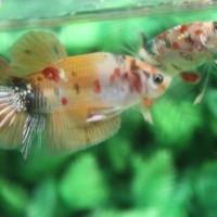 Jual Ikan Cupang Nemo Gold Yellow Base Jakarta Selatan Cupanghiaskontes Tokopedia
