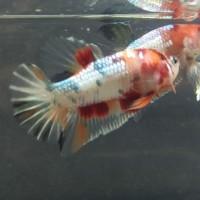 Jual Ikan Cupang Nemo Gold Copper Jakarta Selatan Cupanghiaskontes Tokopedia