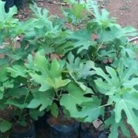Pohon Tin Bibit Tin Tanaman Tin Daun Tin Buah Tin Green Yordan