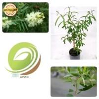 bibit pohon kayu putih/tanaman kayu putih obat herbal penghasil minyak