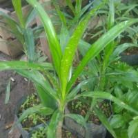 Harga bibit tanaman herbal daun | antitipu.com