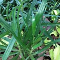 Harga tanaman hias herbal daun sugih pohon | antitipu.com