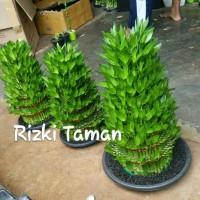 Lucky bamboo | bambu hoki rimbun pot 30.cm