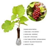 Bibit + Benih + Biji + Tanaman + Buah Anggur Merah