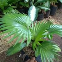 Palem/palm untuk indoor