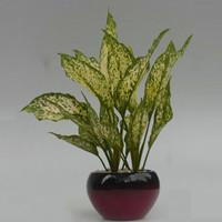 Tanaman hias dalam ruangan aglaonema costatum variegated