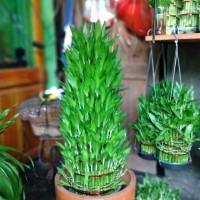 Lucky bamboo | Bambu Hoki Susun 9 house plants