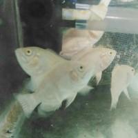 Harga ikan oscar albino | antitipu.com