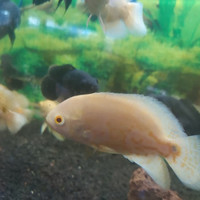 Harga ikan hias oscar albino batik xl ukuran 10 sampai 12cm | antitipu.com