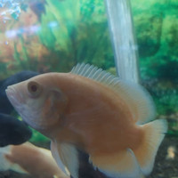 Harga ikan hias oscar albino paris ukuran 10 sampai 11cm aquarium | antitipu.com