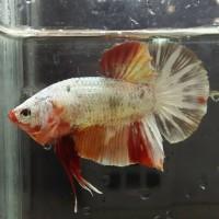 Jual Ikan Cupang Jantan Plakat Nemo Cooper Gold Top Grade Kota Bogor Marko Betta Koi Shop Tokopedia
