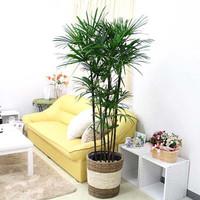 Pohon palem untuk didalam ruangan LADY PALM kuat awet dan tahan ac
