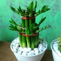 Souvenir tanaman bambu hoki lucky bamboo