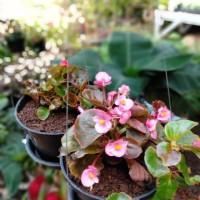 Tanaman gantung bunga begonia