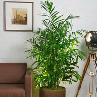 Tanaman hias sehat pembersih udara CHAMAEDOREA SEIFRIZII bisa indoor