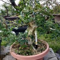 Bakalan Bonsai Kemuning Jepang