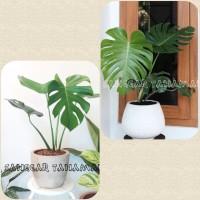 tanaman hias monstera / tanaman indoor