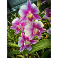 Dendrobium Sripathum Splash remaja