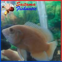 Harga ikan hias oscar albino paris xl ukuran 10 sampai 11 cm | antitipu.com