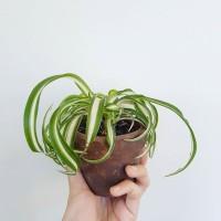 Deskplant_Curly Bonnie Spider Plant in Terracotta Pot