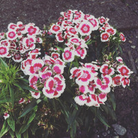 tanaman anyelir bunga merah putih/dianthus red picotee