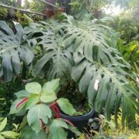 pohon monstera aslinya monster tinggi 1.5-1.7m