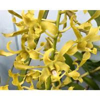 Dendrobium Chan Chao Dewasa (kuning, keriting)