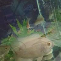 Harga ikan oscar | antitipu.com