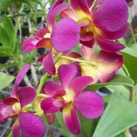 Dendrobium Morning Sun (Remaja)