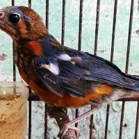 Jual Trotolan Burung Anis Merah Kab Banyuwangi Anis Merah Ring Black Tokopedia