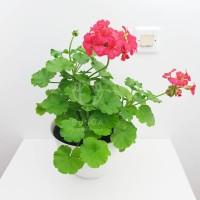 Tanaman Hias Geranium Double Pink Fanta