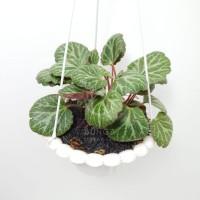 Tanaman Hias Begonia Strawbery